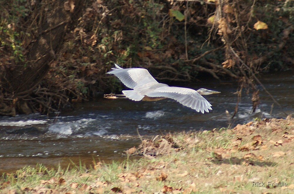 Heron flying by Rick  Friedle