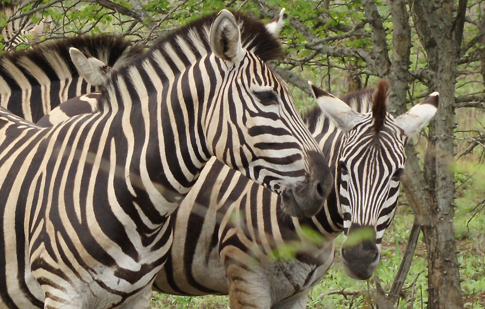 Zebra - WildAfrika by WildAfrika
