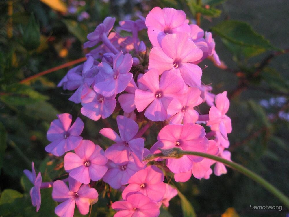 Summer Phlox by Samohsong
