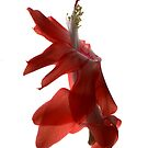 christmas cactus flower III by elisabeth tainsh