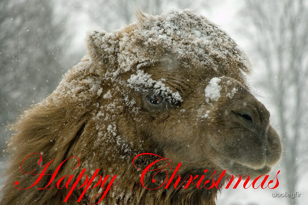 A Christmas Camel by woolleyfir
