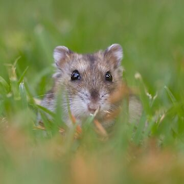 close up and selective focus of a Djungarian hamster (Phodopus sungorus), also known as the Siberian hamster by PhotoStock-Isra