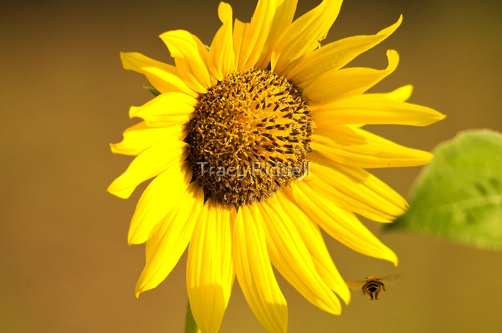 Sunflower & Bee by Tracy Riddell