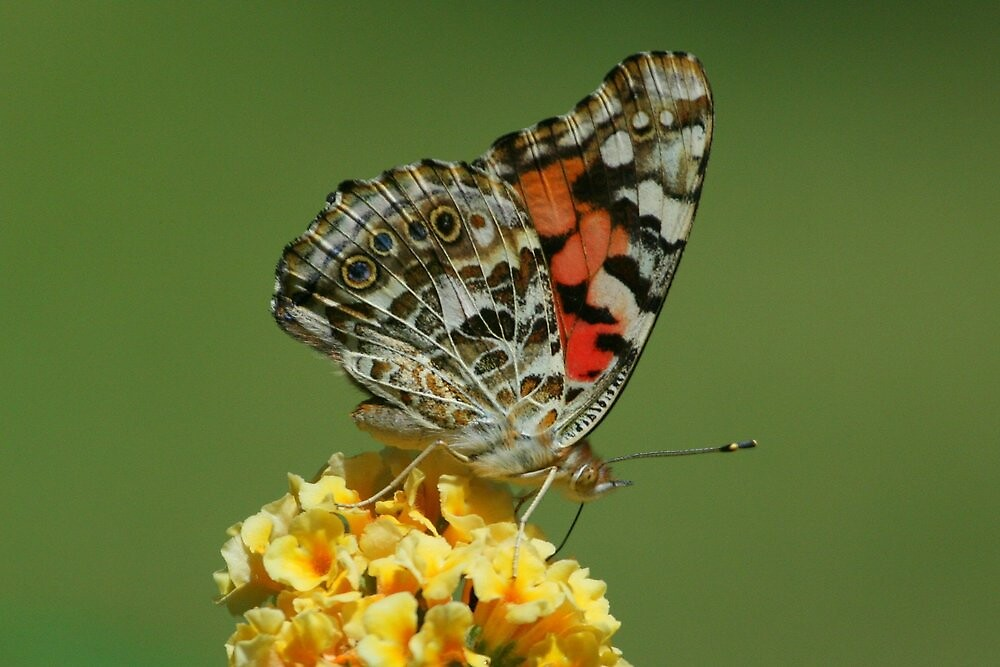 Painted Lady, Vanessa cardui by tonybat