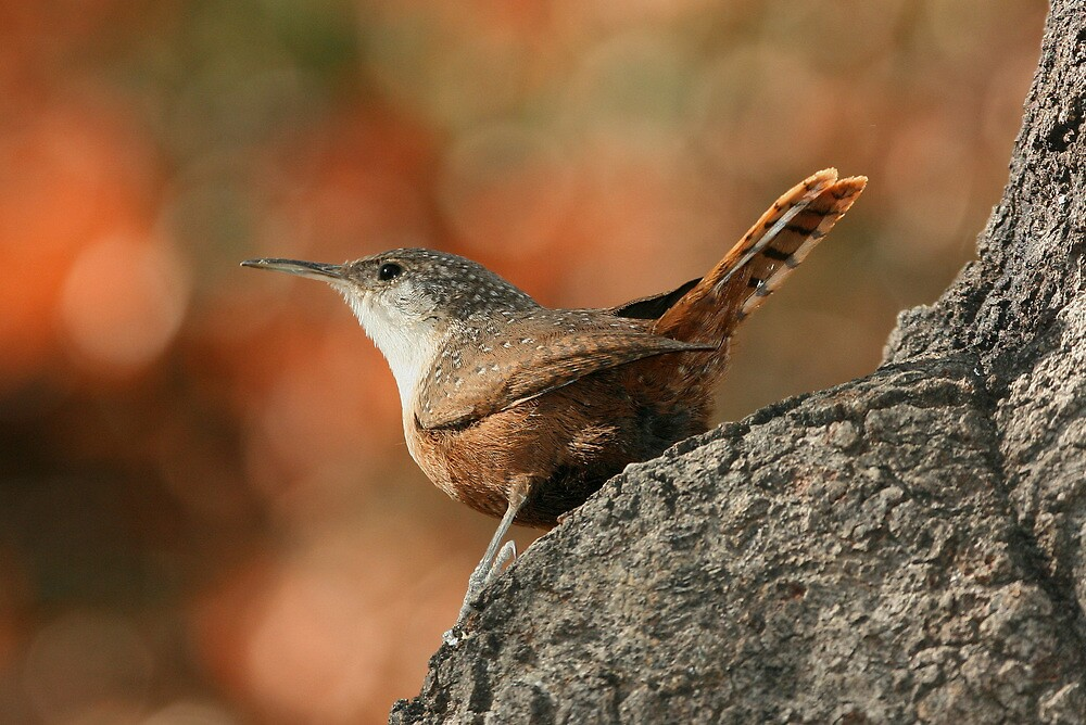 Canyon Wren, Catherpes mexicanus by tonybat