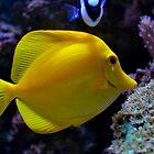 Yellow tang tropical fish by Asiantiger247