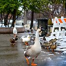 Geese and ducks by Asiantiger247