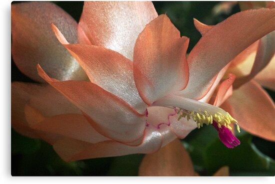 Peach beauty by cherylc1