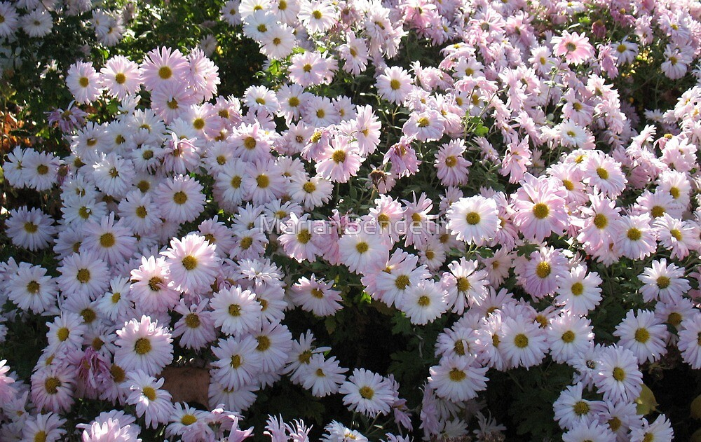 Sparkling Pink Daisies by MarianBendeth