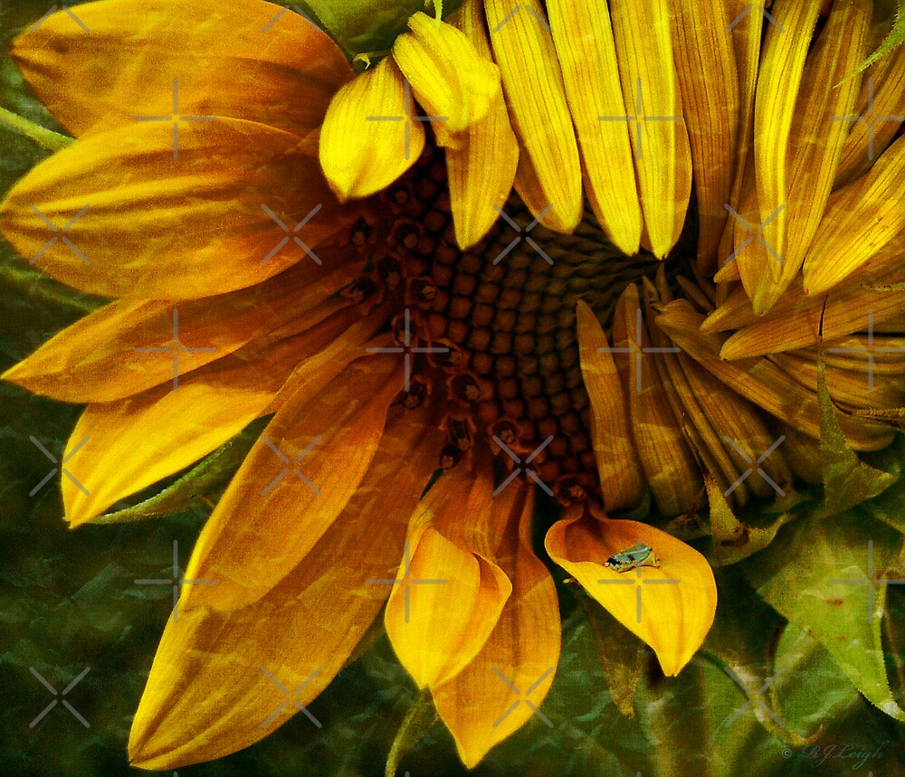 Sunflower by Rachel Leigh