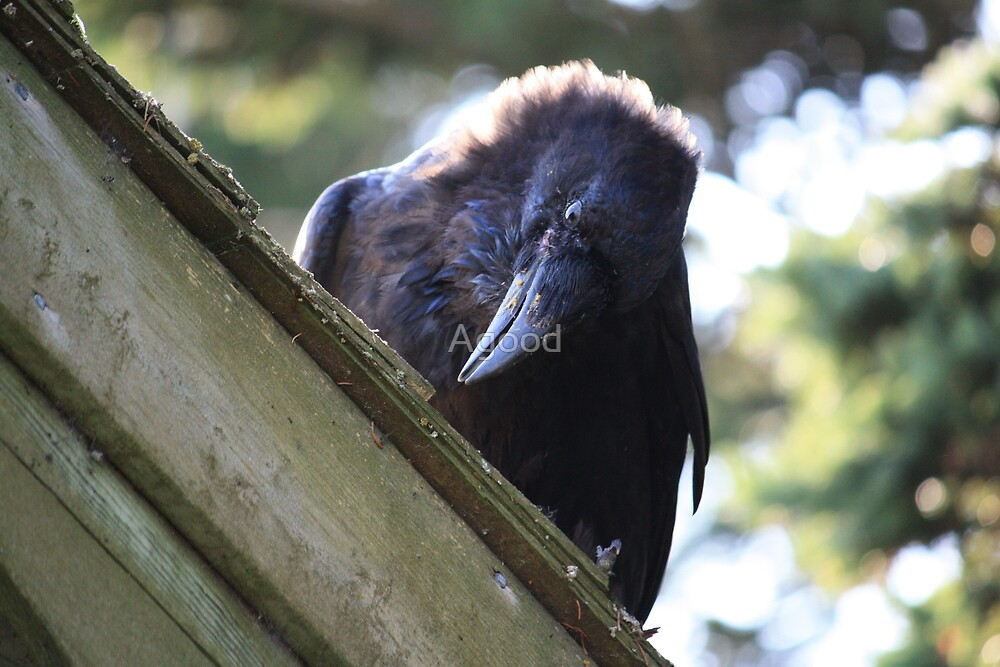 Old Raven by Agood