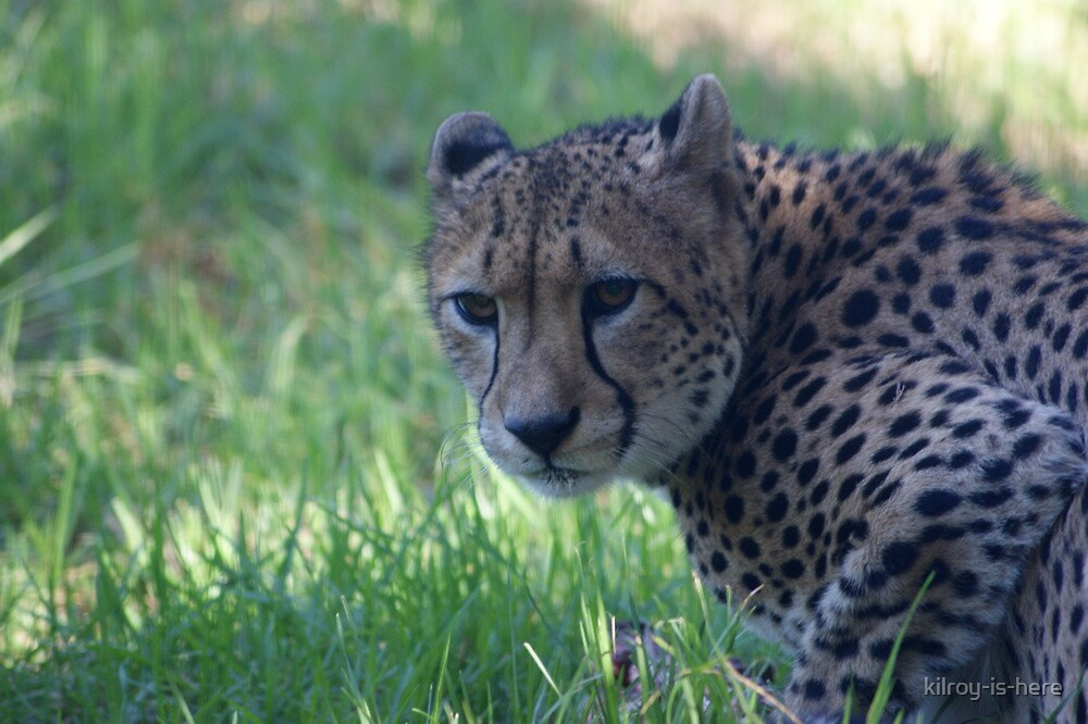cheetah by kilroy-is-here