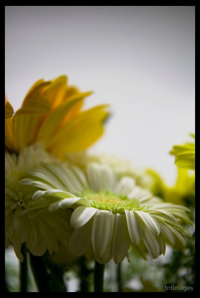 Enlightened Daisy by tntimages