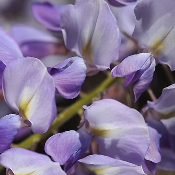 Marching Wisteria Flowers by bubbleblue