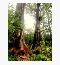 Tingle Tree Photographic Print