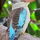 Blue Winged Kookaburra 3 by EvieHanlon