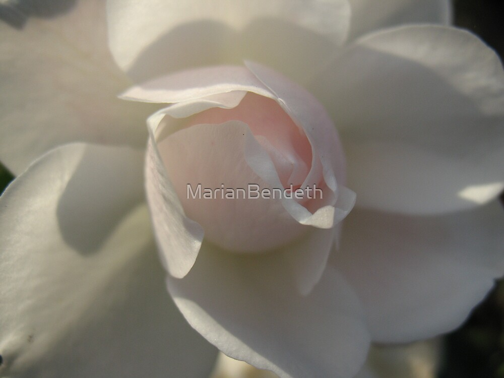 Pink Shadow Rose by MarianBendeth