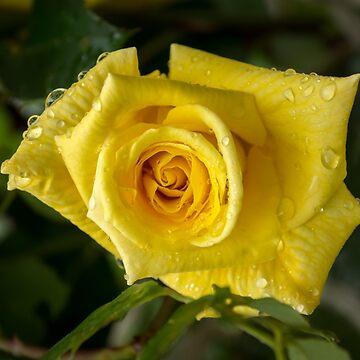 Rose And Rain - Cyber Yellow Rosebud by GeorgiaM
