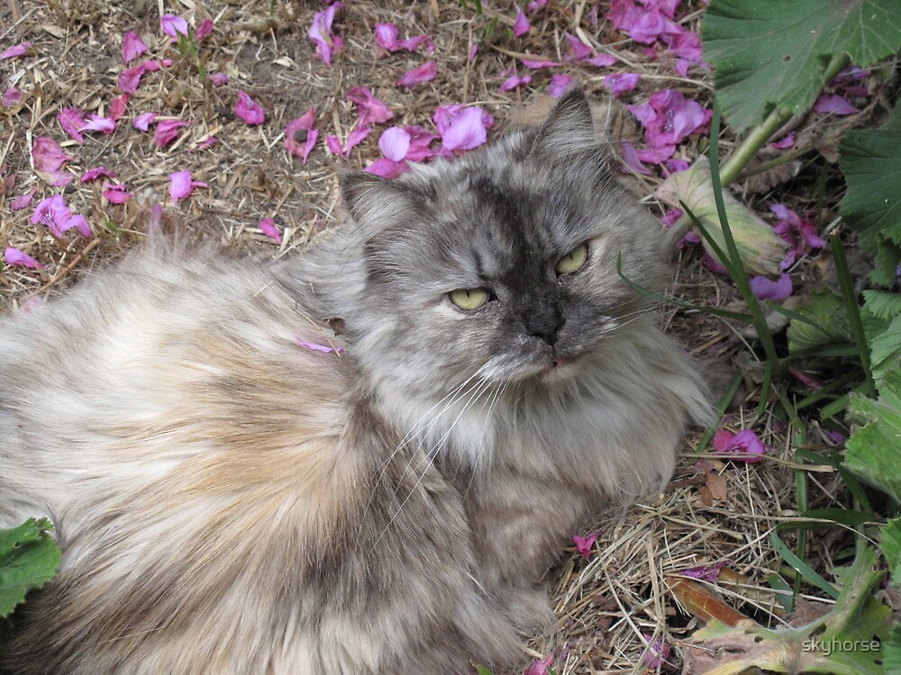 Blue/Cream Tortiseshell Persian by skyhorse