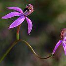 Black Tongue Caladenia (Stegostyla congesta) by Bev Pascoe