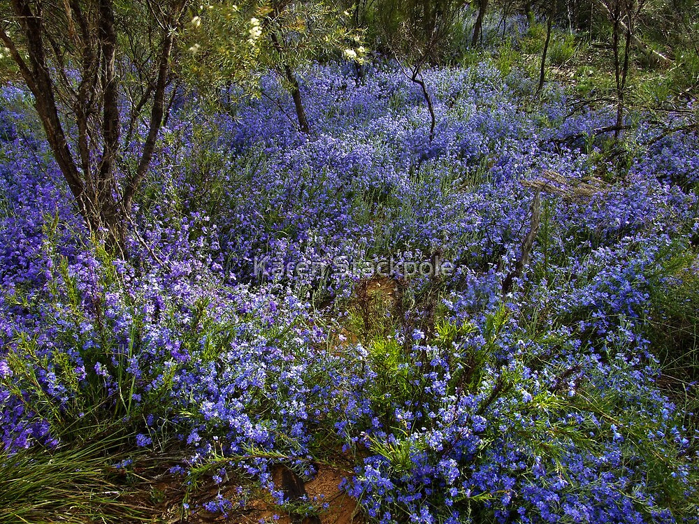 Blue Lechenaultia - Growing wild, Wongan Hills, Western Australia by Karen Stackpole
