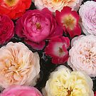 Pick a rose by Heather Thorsen