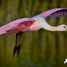 Spoonbill In Flight by TJ Baccari Photography