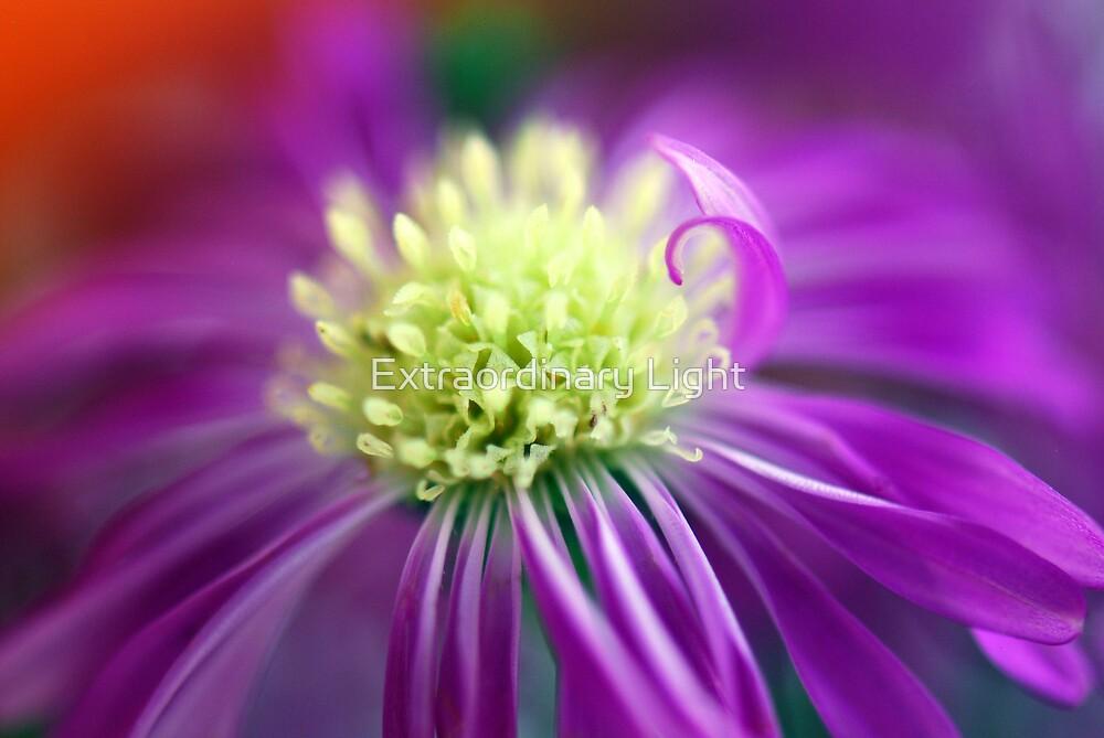 Purple Daisy Heart by Extraordinary Light