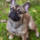 Frenchie by jswolfphoto