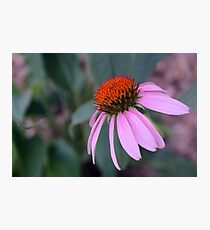 Purple Coneflower Fotodruck