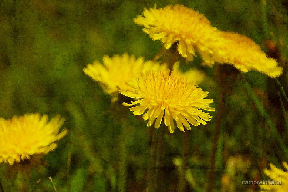 Dandy Dandelion by camerainhand