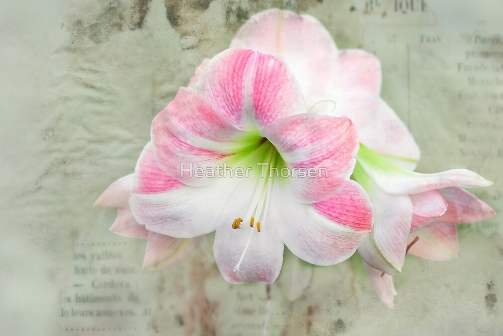 Amaryllis by Heather Thorsen
