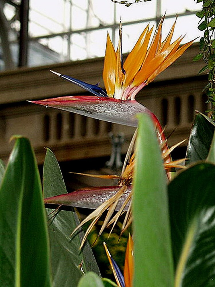 The Bird Of Paradise  by Andrew  Bailey