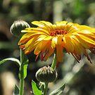 wunderschöne, gelbe Ringelblume, Blüte, Blume, Natur von rhnaturestyles