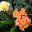 Clivia's in two different colours......!! by Roy  Massicks