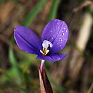 Purple Flag (Patersonia occidentalis) by Bev Pascoe