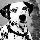 Dalmation by Marjorie Smith