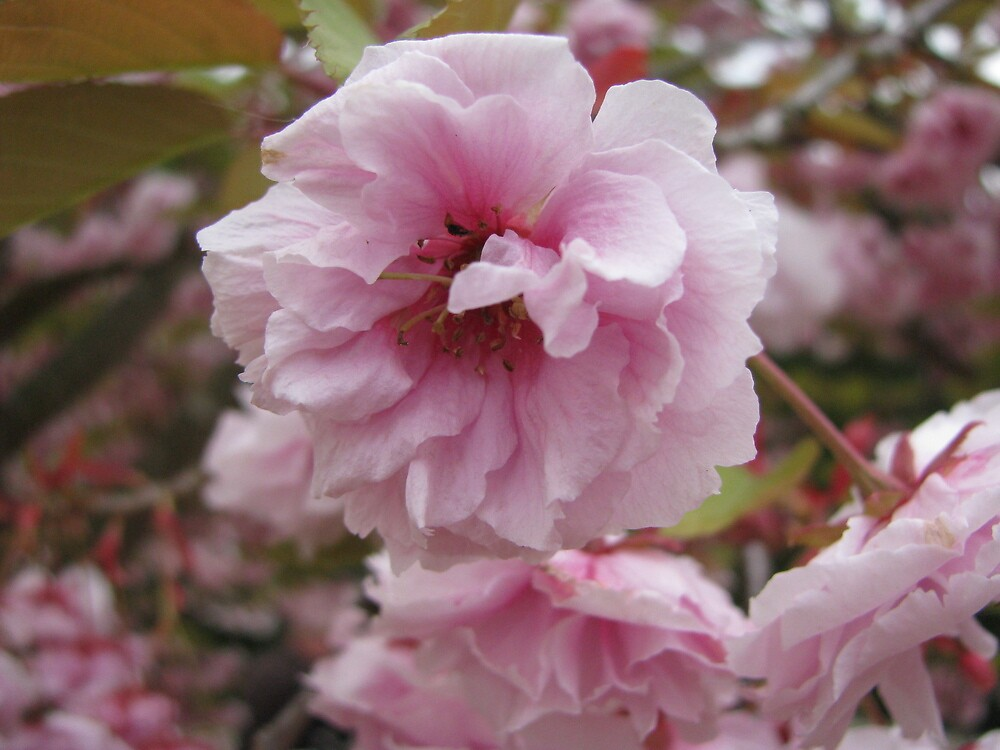 Blossom by Caroline Anderson