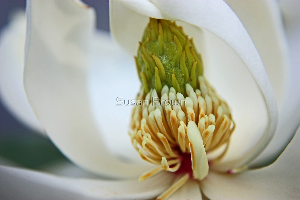 Magnolia Little Gem by Susan Brown