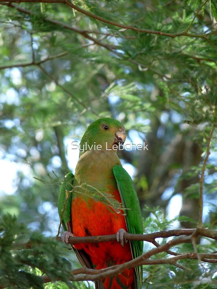 Australian King Parrot by Sylvie Lebchek