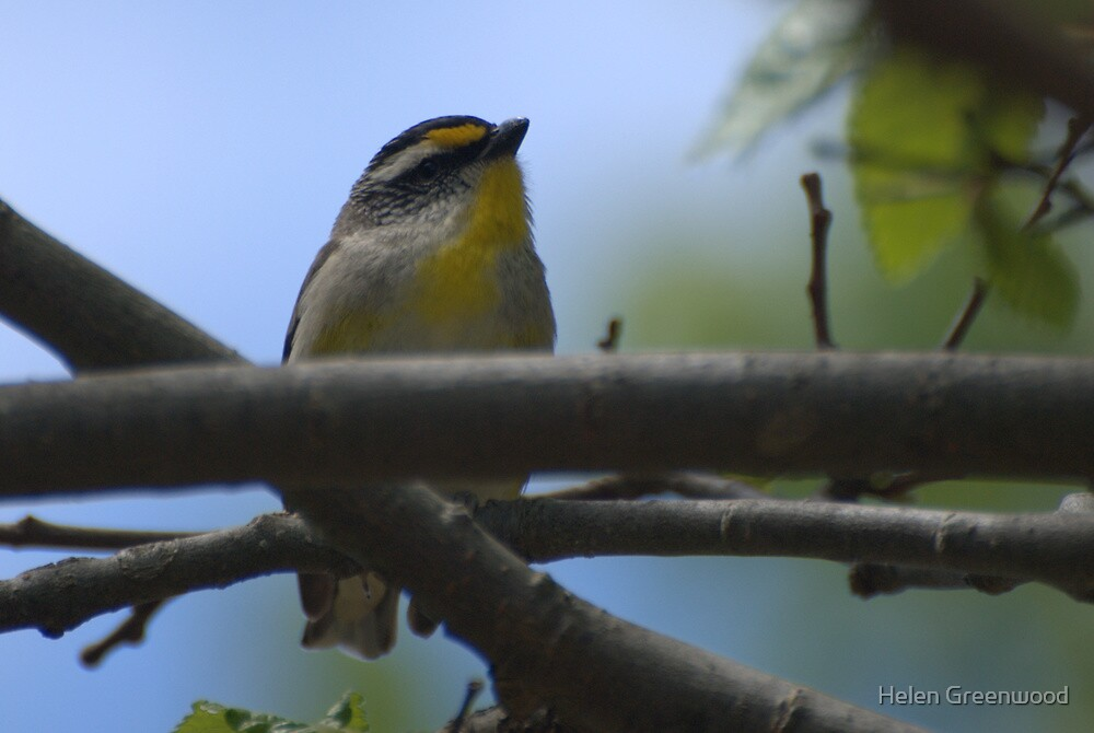 Striated Pardalote (a) by Helen Greenwood