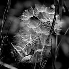 Wild Goat's Beard  Gone to Seed  by Max Buchheit