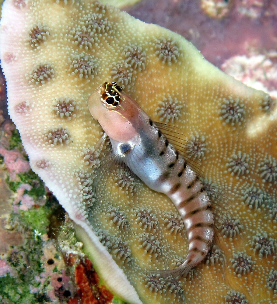Tiger Blenny by Reef Ecoimages