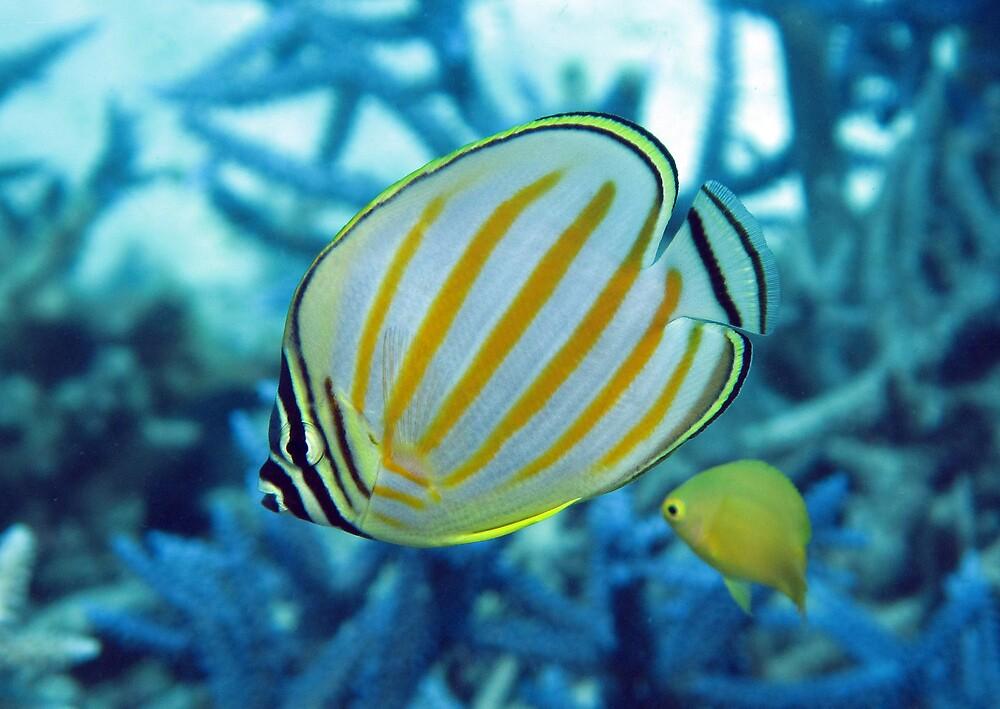 Ornatissimus by Reef Ecoimages