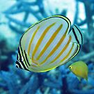 Ornatissimus by Reef Ecoimages