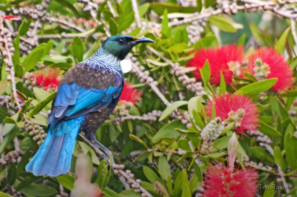 Tui In The Bottlebrush Tree by TomRaven