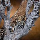 Leopard in a tree. by Lyn Darlington