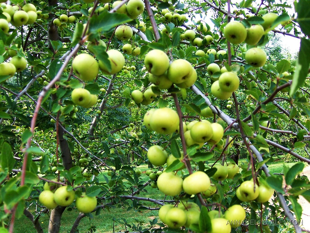 apples are good for you by ANNABEL   S. ALENTON