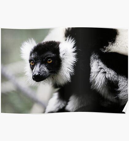 Black & White Ruffed Lemur Poster