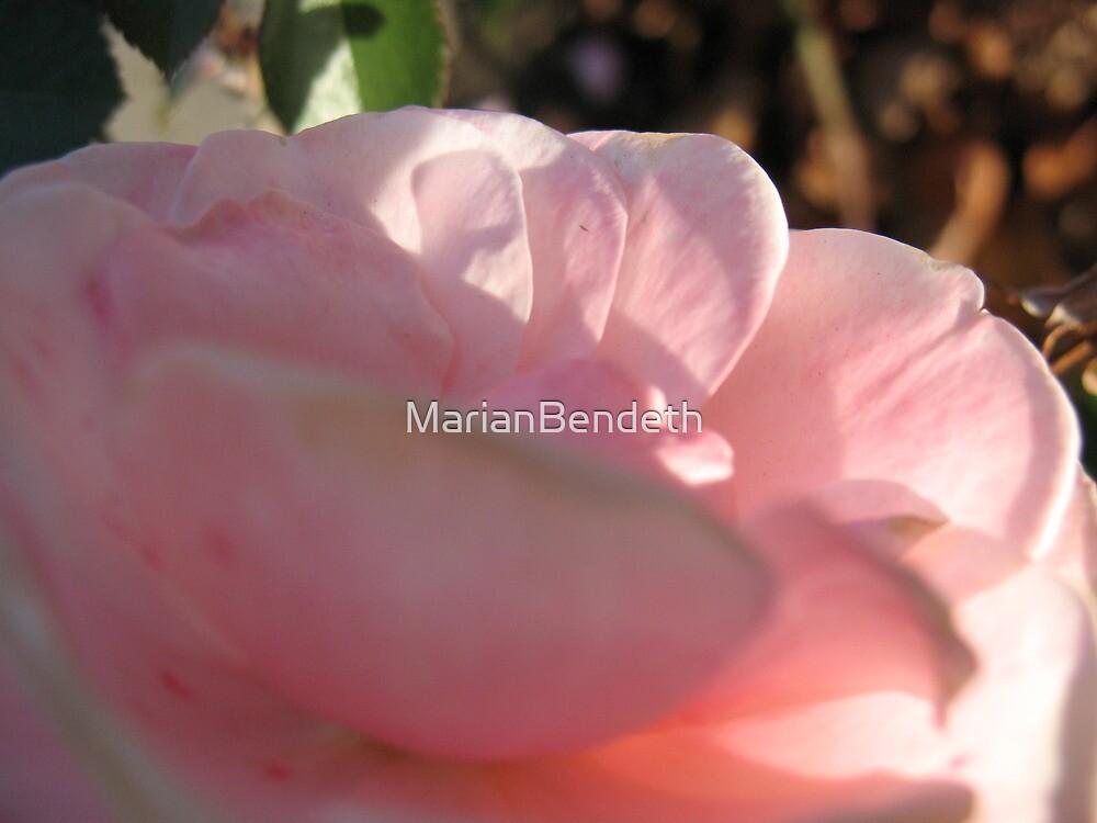 Pink Cushion Rose by MarianBendeth